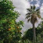 Giardino, dettaglio di agrumeto e palma